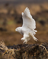 Snowy owl in flight and about to land on a driftwood log.<br /> Boundary Bay, Ladner, British Columbia, Canada<br /> 12/3/2011