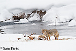 Coyote feeding on carcass during winter. Yellowstone National Park, Wyoming.