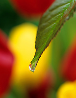 Water dripping from spring leaf with tulips in back. Near Alpine, Oregon