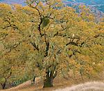 Valley Oaks, Quercus lobata, Acorn Ranch, Yorkville, Mendocino County, California