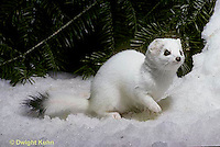 MA06-129x Short-Tailed Weasel - exploring forest, sniffing for prey in winter, camouflagued - Mustela erminea