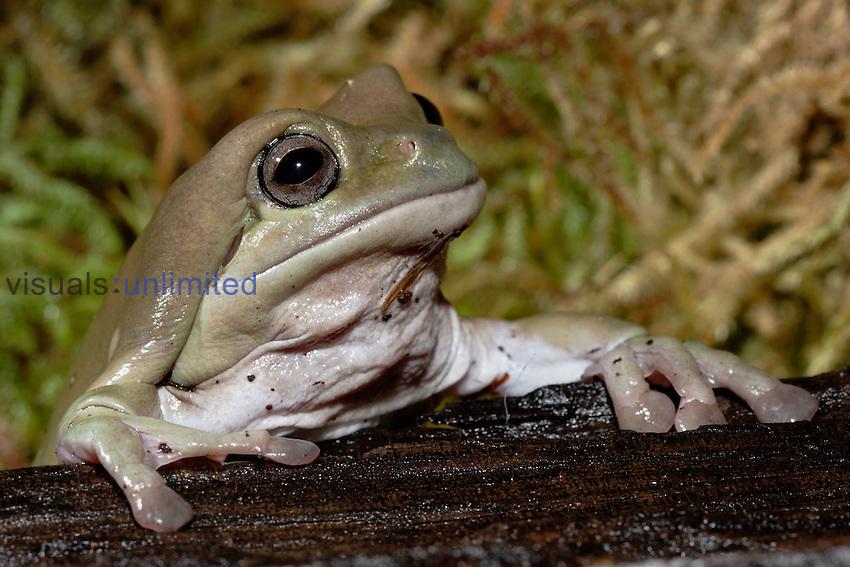 White's Tree Frog (Litoria caerulea), Australia. Captive