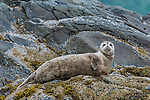 Harbor Seal (Phoca vitulina) resting on rocks, Kukak Bay, Katmai National Park, Alaska, USA.