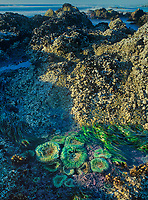 768550355 tidal pools with green anemones protected by coastal rock formations along highway 1 on the central oregon coast