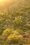 Blooming saguaro cactus (Cereus giganteus) and littleleaf paloverde (Cercidium microphyllum) in the Sonoran Desert near Four Peaks