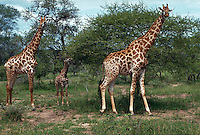 Giraffe, adult and young, MalaMala Game Reserve, Transvaal, South Africa