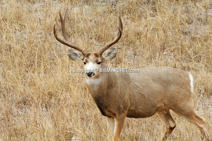 00270-002.15 Mule Deer buck with large antlers is in typical western US habitat during llight snow.  Hunt, rut, breed.  H6L1