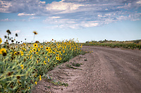 Sunflowers the state Flower of Kansas, line the roadsides in the Cimarron National Grassland in Western Kansas.