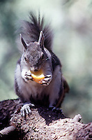 RODENTS<br /> Abert Squirrel Eating An Orange Slice