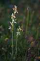 Bee Orchid {Ophyris apifera} Peak District National Park, Derbyshire, UK. July.