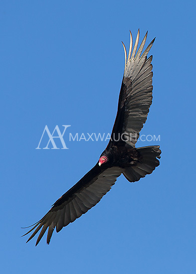 A turkey vulture soars above the Rio Tarcoles.