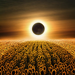 An eclipse in a field of sunflowers