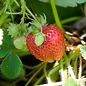 Strawberry 'Emily', mid June.