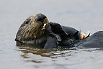 Sea Otter (Enhydra lutris) female feeding on clam prey, Elkhorn Slough, Monterey Bay, California