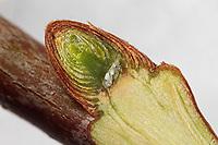 Schwammapfel, Schwamm-Apfel, Gallapfel, Kartoffelgalle, Kartoffel-Galle, Eichenschwamm-Gallwespe, Ei, Eier in der angeschnittenen Knospe, Eiablage an, in Knospe, Schwammgallwespe, Eichenschwamm - Gallwespe, Gall-Wespe, Schwamm-Gallwespe, Biorhiza pallida, Biorrhiza pallida, Galle an Eichen-Zweig, Gallen, Eiche, Quercus, oak-apple gall wasp, oak apple