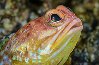 Solor jawfish, Opistognathus solorensis, Lembeh Strait, North Sulawesi, Indonesia, Pacific