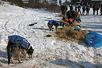 Martin Buser let his dog team loose while he took their booties off in Koyuk. Photo by Jon Little.