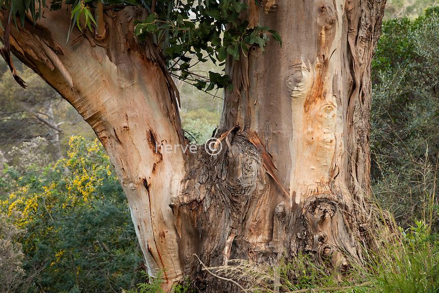 Le Domaine du Rayol:<br /> gommier bleu = Eucalyptus globulus.