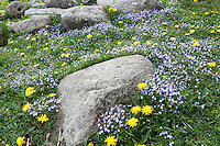 Stock image of bluets and hawkweeds wildflowers grown perfectly around a rock at the foothills of clingmans dome in the great smoky mountain national park Tennessee, America.