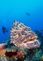 black grouper, Mycteroperca bonaci, Caribbean reef shark, and scuba diver, Gardens of the Queen, Jardines de la Reina, Jardines de la Reina National Park, Cuba, Caribbean Sea, Atlantic Ocean