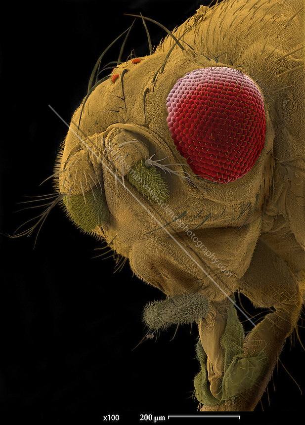 SEM of a mutant fruit fly. Scanning Electron Micrograph (SEM) of the head of a mutant fruit fly (Drosophila melanogaster). This mutant has abnormal size eyes ? they are smaller than normal and are due to the ?eyeless mutation?.  Fruit flies are widely used in genetic experiments, particularly in mutation experiments, because they reproduce rapidly and their genetic systems are well understood.