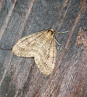 Winter Moth Operophtera brumata Wingspan 22-26mm. The classic moth of winter, whose rounded wings (only males have wings) are held flat at rest. Often seen flying in car headlights, or found resting on walls near outside lights. To see wingless female, look for mating pairs by torchlight on foodplant. Adult male has grey-brown wings with concentric cross lines. Flies November–February. Larva feeds on most deciduous trees and shrubs. Widespread and common.