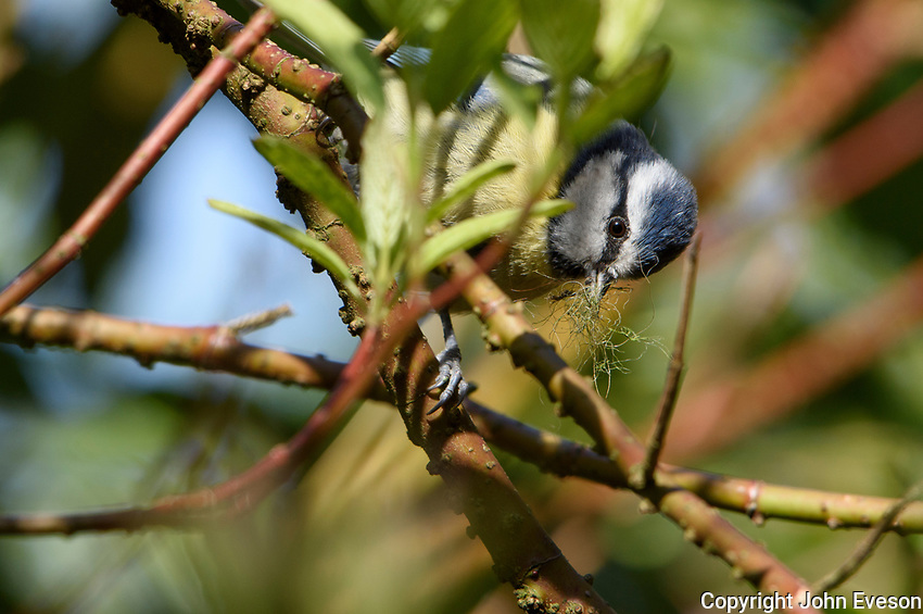 A Blue Tit collecting nest material, Chipping, Lancashire.