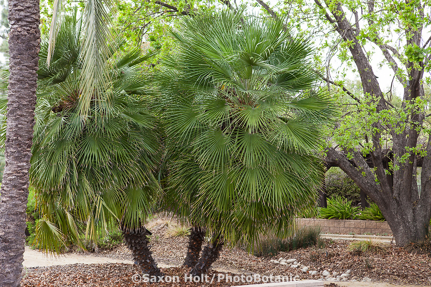 Chamaerops humilis (Mediterranean Fan Palm),<br /> Landscape Southern California Style  -demonstration garden by Western Municipal Water District, Riverside California