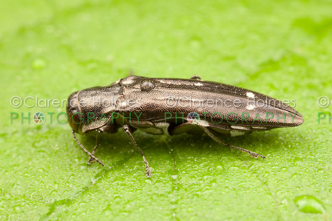 Metallic Wood-boring Beetle (Agrilus obsoletoguttatus), West Harrison, Westchester County, New York