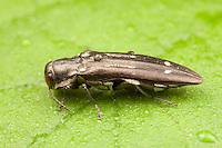 Metallic Wood-boring Beetle (Agrilus obsoletoguttatus), West Harrison, Westchester County, New York