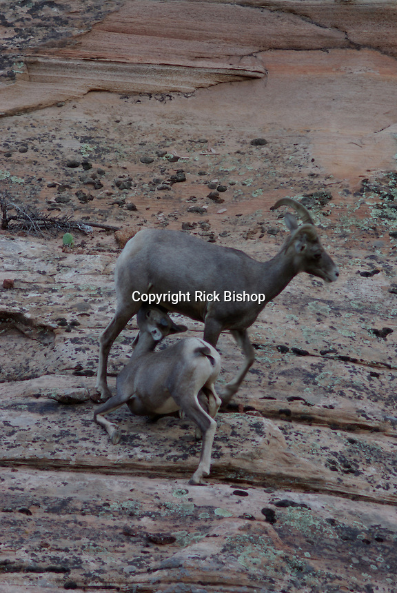 Desert Bighorn Sheep Ewe feeds Lamb in southern Utah's Zion National Park on a summer day.