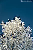 Ice crusted tree in winter