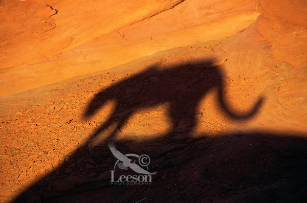 COUGAR/MOUNTAIN LION/PUMA..Shadow. Near Canyonlands National Park,.Utah. Autumn. (Felis concolor).