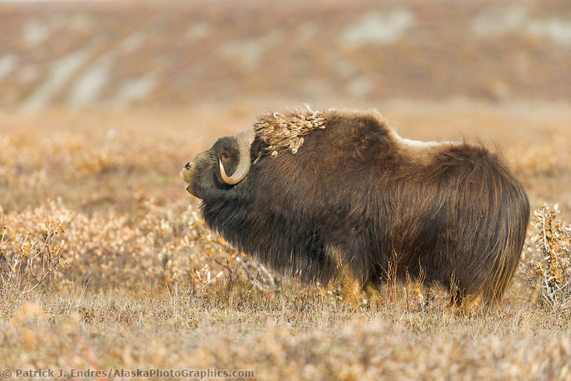 Bull Musk oxen on Alaska's Arctic North Slope.