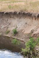Uferschwalbe, Ufer-Schwalbe, Kolonie an einem Steilhang an einem Bach, Neströhren, Niströhren, Riparia riparia, Sand Martin, Hirondelle de rivage
