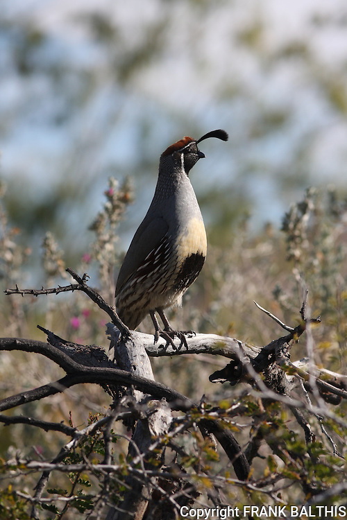 Gambel's quail male in Palm Desert