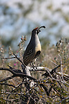 Gambel's quail male in Palm Desert