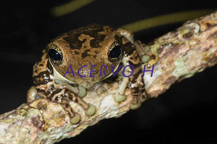 Trachycephalus typhonius (Linnaeus, 1758)<br /> Nome-ingês: Amazon Milk Frog<br /> .<br /> Espécie de perereca amplamente distribuida na Amazônia. É comumente usada como animal de estimação, especialmente nos Estados Unidos e Europa.<br /> .<br /> .<br /> Imagem feita em 2017 durante expedição científica para a região do Lago Tefé, Tefé, Amazonas, Brasil. A expedição, financiada pelo  Conselho Nacional de Desenvolvimento Científico e Tecnológico, teve o abjetivo de reencontrar espécies de anfíbios descritas pelo explorador Johann Baptist von Spix no ano de 1824.
