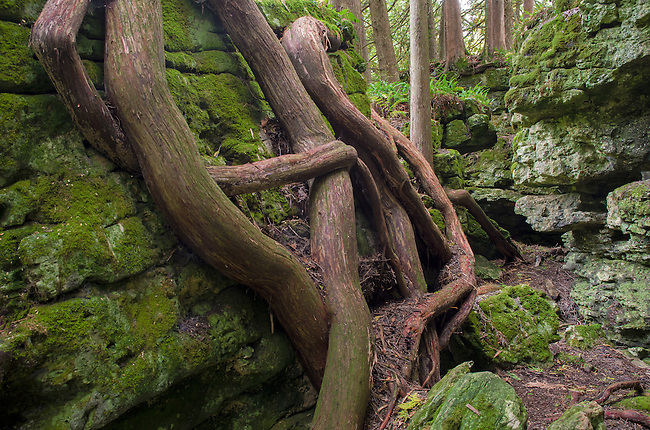 Cedar tree roots grow along the outside of rock outcroppings that are pieces of ancielnt shoreliens of Glacial Lake Chicago, Door County, Wisconsin