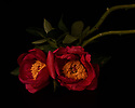 London, UK. 19.05.2018. Red Peonies on a black background, V & A. Photograph © Jane Hobson.