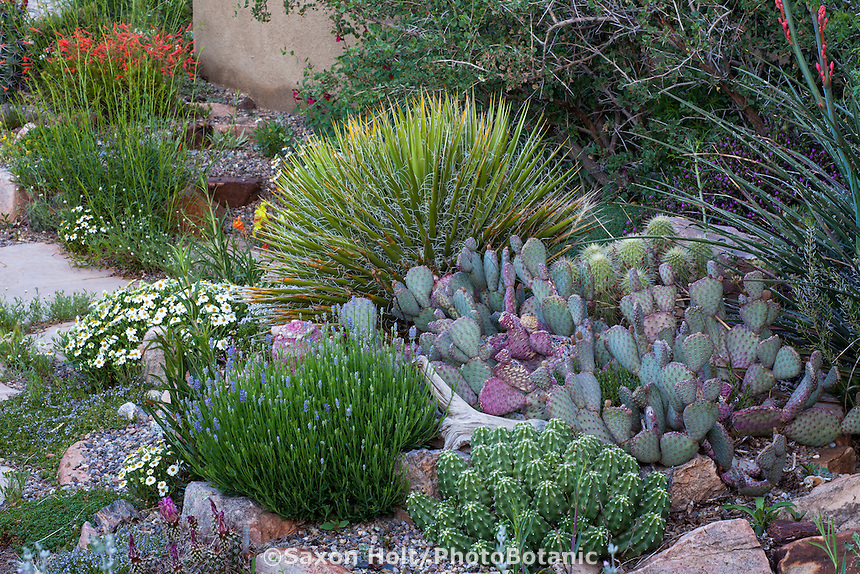 Cactus, Yucca nana, Opuntia 'Chocolate Bunny', Echinocereus triglochidiatus f. inermis (spineless claretcup) in David Salman New Mexico xeric rock garden with 'Wee One' English lavender