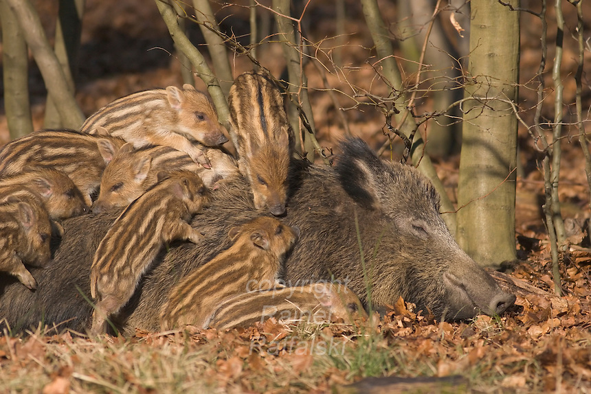 Germany, DEU, Arnsberg, 2005-Feb-07: Some  young wild boars (sus scrofa), about two weeks old, playing on their mother's back in the Wildwald Vosswinkel preserve.