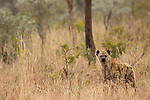 Spotted Hyena (Crocuta crocuta) female, Kruger National Park, South Africa