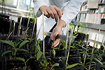 October 12, 2007, Raleigh, NC.. A research assistant, who did not want to be named, inserts sticks into the newly sprouted pots to keep the young trees from falling over..Greenhouses at the Department of Forest Biotechnology at North Carolina State University are being used to grow trees with lower lignin levels to be better used for future bio-fuel technologies.