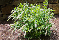 Itea virginica Little Henry in flower in spring, next to stone wall, mulched bed, showing entire plant habit, branches, rounded form, spiky long white blooms, native American plant