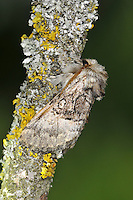 Nut-tree Tussock Colocasia coryli Length 17-19mm. A distinctive moth that has furry legs and head end. It usually rests with it wings held in a tent-like manner. Adult has forewings that range from bluish-grey to buffish-brown; all colour forms show a broad, darker cross band with a small eyespot outlined in black. Flies May–July. Larva feeds on deciduous shrubs and trees, notably birches and Hazel. Widespread and locally common in southern and central England and Wales, and central Scotland.