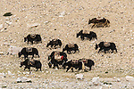 A Tibetan Yak Train near Mount Cho Oyu in Tibet