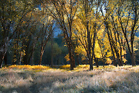 Late afternoon shadows begin to creep across the El Capitan meadow producing a variety of golden hues