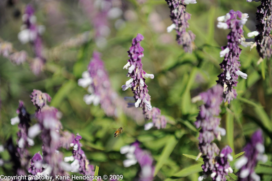 Honey Bee pollenating a Mexican Sage, in Ventura, CA.