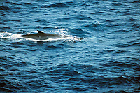 fin whale, Balaenoptera physalus, surf sequence, England, United Kingdom, Great Britain, British Isles, Bay of Biscay, North Atlantic